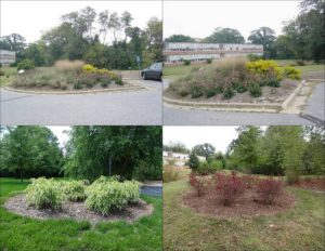 3. Xeriscape planted with herbaceous perennials was transformed into the Virginia Sweetspire Xeriscape to reduce maintenance