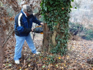 Ricky removing invasive English Ivy