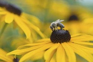 Bee on Black-Eyed Susan